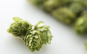HOP, Beer base, plant, use cones