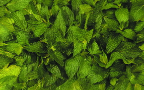 food, TEXTURE, background, Food, basil, greens
