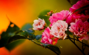 Roses, Zweig, Macro