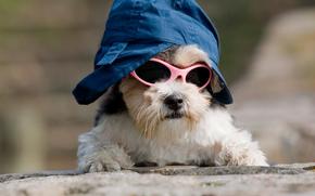 собака, собаки, животные, щенок, щенки, очки, кепка