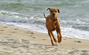 собака, собаки, животные, пёс, море, пляж, песок