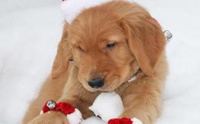 cão, Cão, animais, cachorro, Filhotes, inverno, Santa, boné