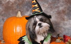 собака, собаки, животные, щенок, щенки, хэллоуин, тыквы, костюм, ведьмочка