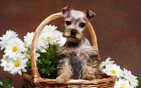 собака, собаки, животные, щенок, щенки, корзинка, ромашки, цветы