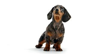 собака, собаки, животные, щенок, щенки, такса, белый фон