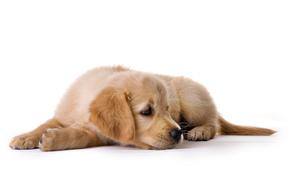собака, собаки, животные, щенок, щенки, лежит, белый фон