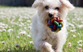cane, Cane, animali, cucciolo, Cuccioli, giocattolo, campo, prato, trifoglio