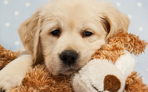 cane, Cane, animali, cucciolo, Cuccioli, cutie, giocattolo, pecorina