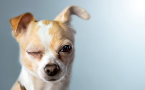 dog, Dog, animals, puppy, Puppies, eyes, Winks