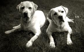 собака, собаки, животные, псы, друзья, монохром