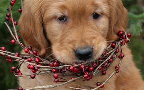 собака, собаки, животные, щенок, щенки, ожерелье