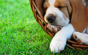dog, Dog, animals, puppy, Puppies, basket, sleeps