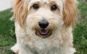cane, Cane, animali, cucciolo, Cuccioli, erba