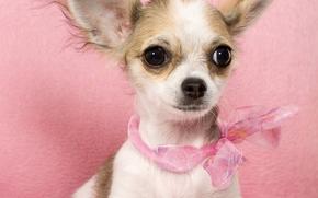 собака, собаки, животные, щенок, щенки, розовый гламур