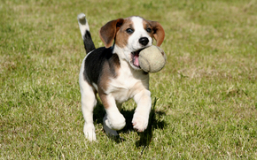 dog, Dog, animals, puppy, Puppies, Ball, field, football