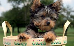 собака, собаки, животные, щенок, щенки, корзинка