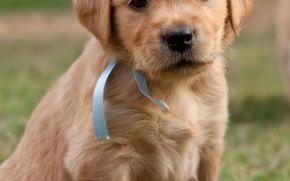 perro, Perro, animales, cachorro, Puppies, nyashenka con una cinta