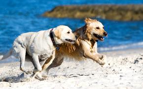 cane, Cane, animali, mare, puntellare, drugany, esecuzione, gara