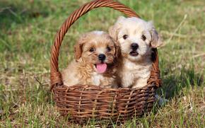Cane, cane, cucciolo, Cuccioli, animali, cestino