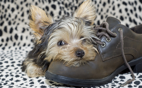 Cane, cane, cucciolo, Cuccioli, animali, scarpa