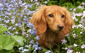 Dog, dog, animals, puppy, Puppies, meadow, Flowers