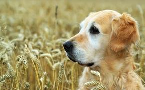 собаки, собака, животные, пёс, природа