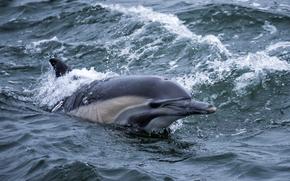 mare, delfino, onde