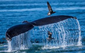 sea, whale, TAIL, spray