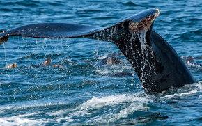 mare, balena, CODA, spruzzo