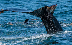 море, кит, хвост, брызги