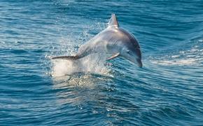 море, дельфин, прыжок