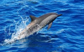 mare, delfino, saltare