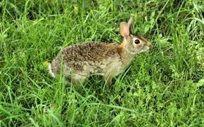 поле, заяц, русак