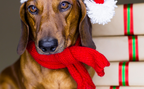 dog, Dog, animals, puppy, Puppies, santa, cap, New Year, holidays, gifts, Dachshund