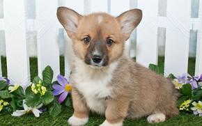 собака, собаки, животные, щенок, щенки, забор, малыш, коротыш