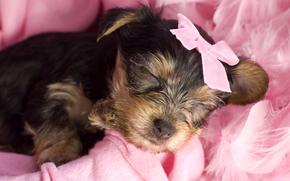 собака, собаки, животные, щенок, щенки, бантик, гламур, розовый, спит, сон