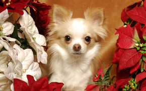 dog, Dog, animals, puppy, Puppies, Flowers, Christmas star