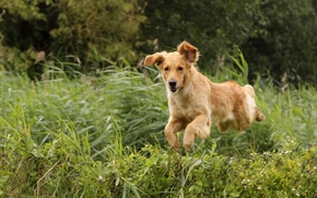 собака, собаки, животные, щенок, щенки, лес, парк, трава, бег