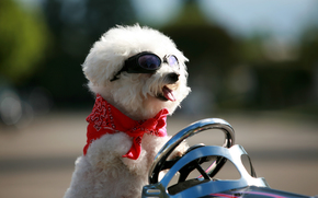 dog, Dog, animals, puppy, Puppies, Car, steering wheel, glasses, Steep