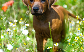 dog, Dog, animals, puppy, Puppies, summer, field, meadow, Flowers