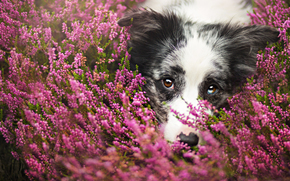 dog, Dog, Flowers, meadow, portrait, Snout, animals