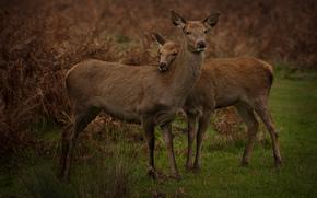 олень, олени, животные, природа, парнокопытные