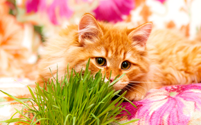 COTE, cat, kitten, Red, background, Flowers, grass