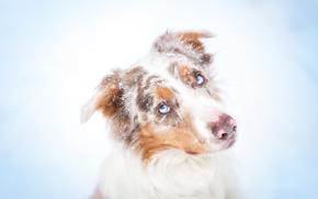 собака, собаки, зима, снег, портрет, глаза, голубые