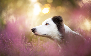 pies, Pies, Kwiaty, rozmyte, portret, bokeh
