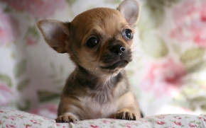 Chihuahua, cane, pecorina, mordashka