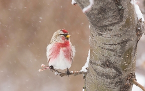 redpoll, bird, winter, snow, tree