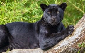 black Panther, jaguar, wildcat, predator, view