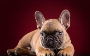 Bulldog Francese, cane, cucciolo, museruola, visualizzare, orecchie