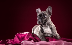 французский бульдог, собака, щенок